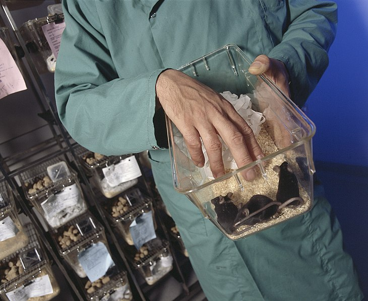 Technician working with three black mice in a cage.